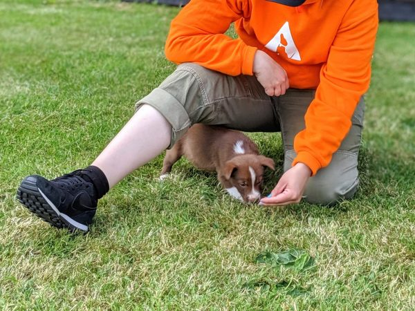 young brown border collie puppy playing training game
