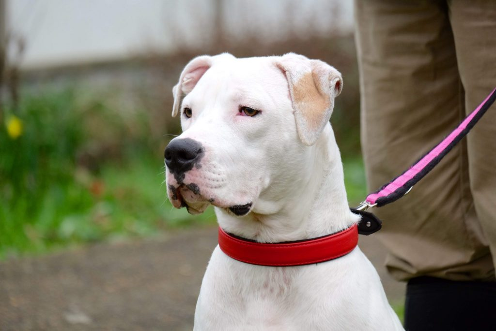 battersea rescue white american bulldog