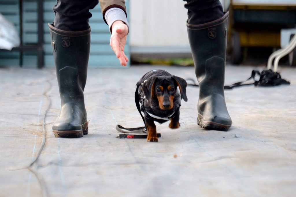 black dachshund dog playing funder fun under legs
