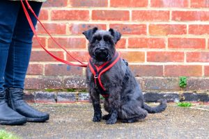 black miniature schnauzer sitting in front red brick wall with owner