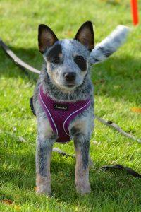 cute australian cattle dog small puppy