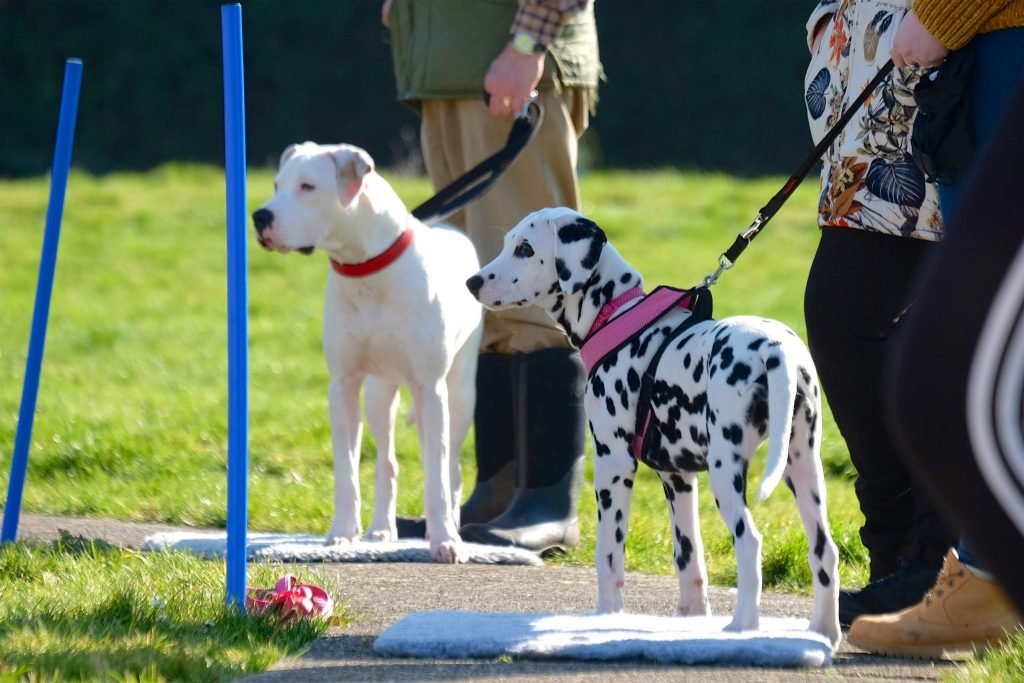 dalmatian and white american bulldog in class outside sunshine