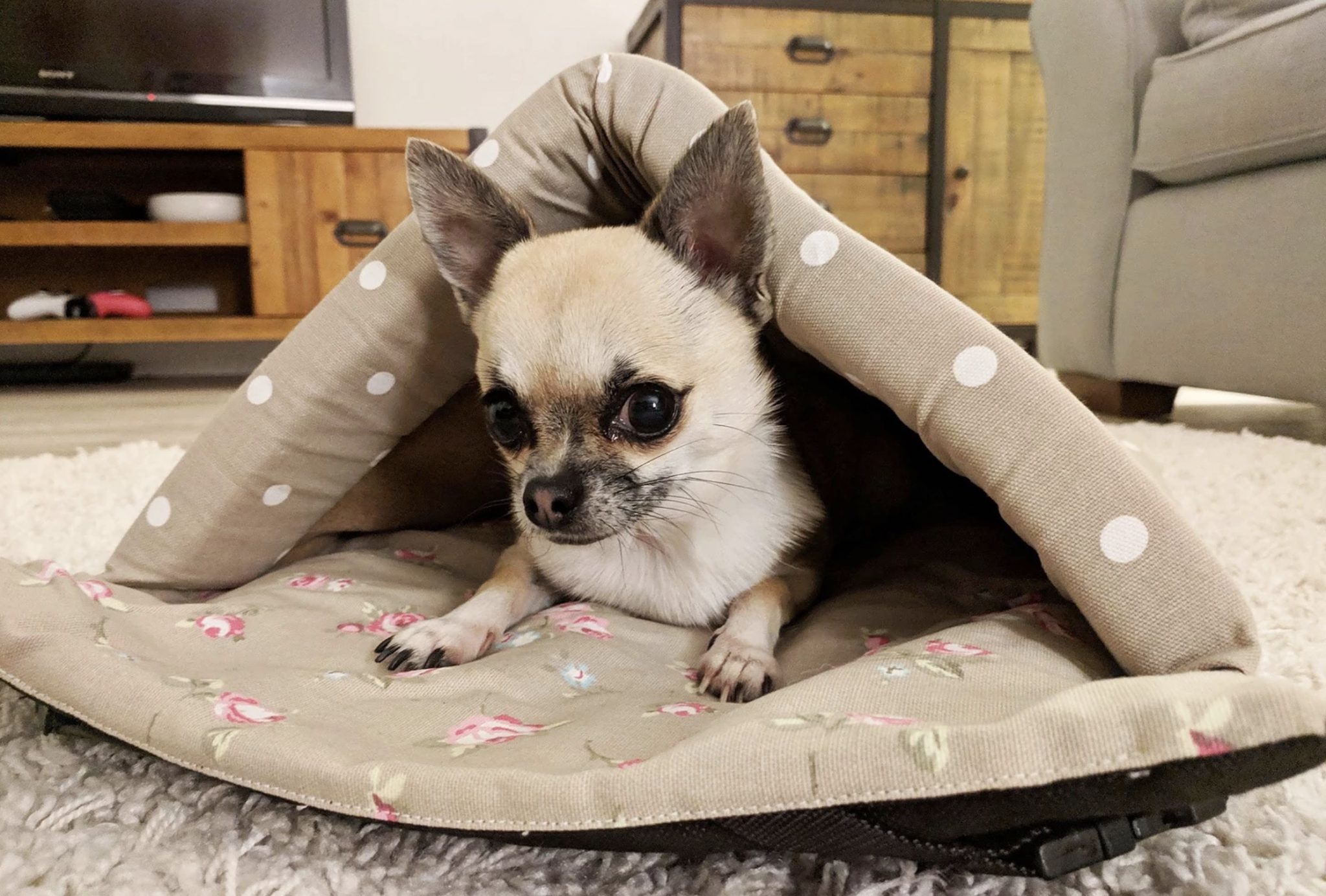 small dog chihuahua hiding in bed