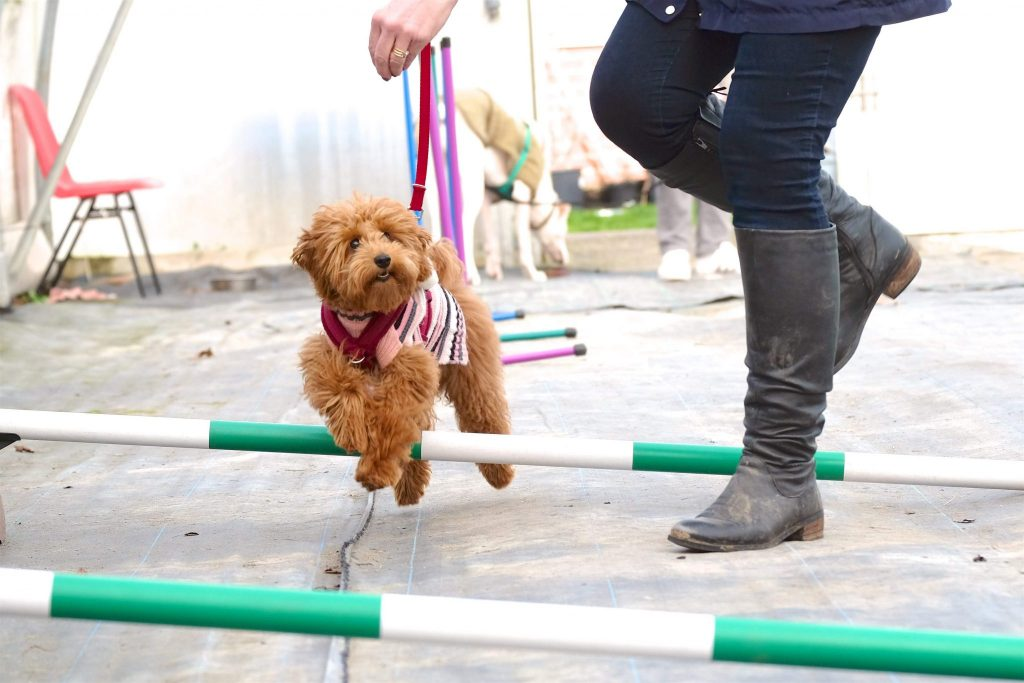 small golden doodle over agilty jumps group class epsom