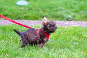 tiny puppy outdoor on grass