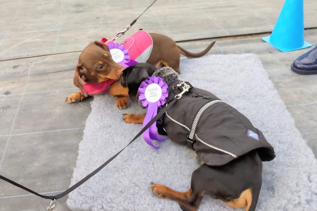 two black and brown dachshunds playing with rossettes graduation day