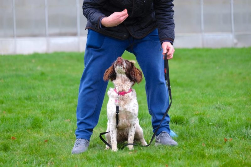 white brown working cocker spaniel dog playing middle game