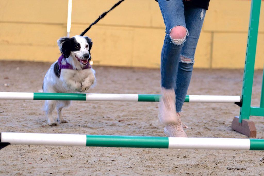 black white cocker spaniel over jumps in dog agility in epsom
