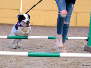 black white cocker spaniel over jumps in dog agility in epsom