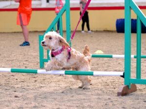 cockapoo over agility jumps in epsom