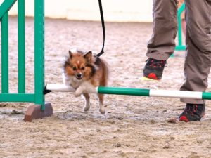 fun dog agility in epsom polo club