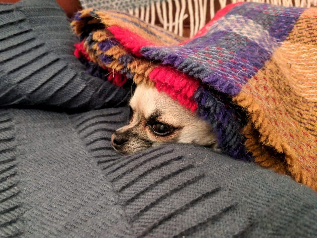 Pixel Chihuahua hiding in blanket