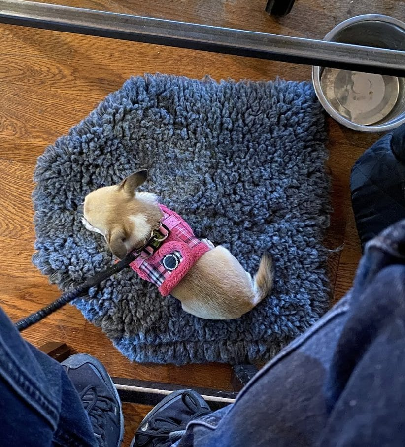 Pixel chihuahua settled laying down on a mat in pub