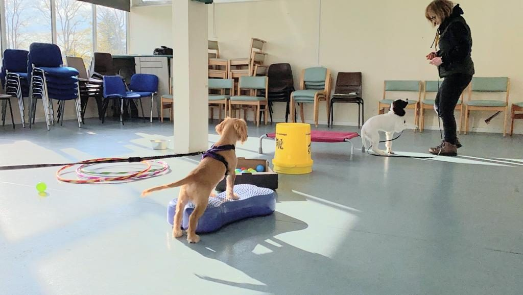 Two spaniel puppies learning disengagement in puppy class