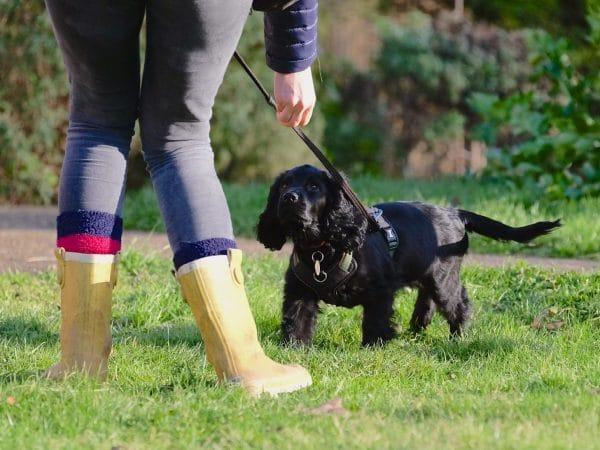 black cocker spaniel puppy returning to owner recall training