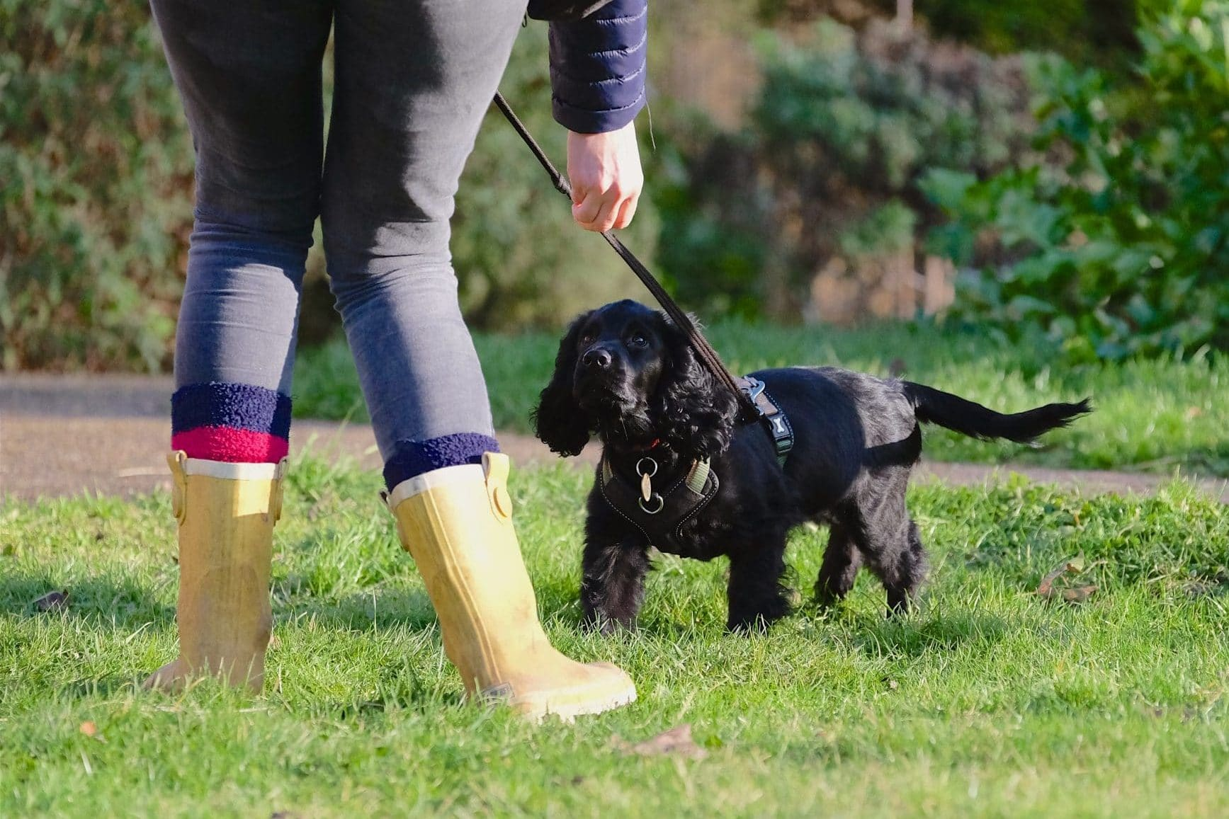 black cocker spaniel puppy returning to owner recall training