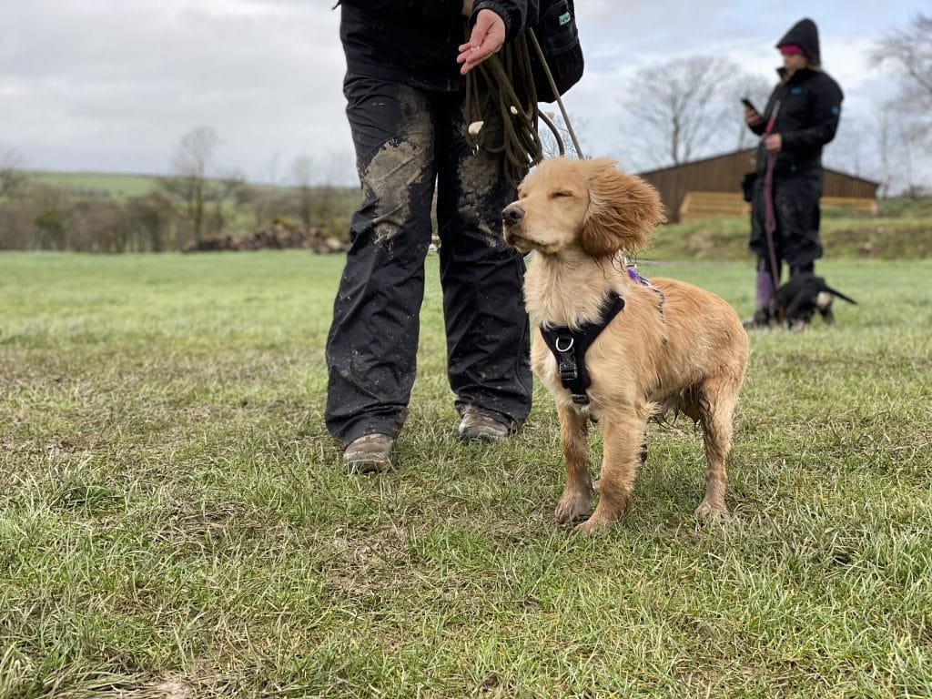 Rocket Golden working cocker spaniel at gundog training workshop in Devon
