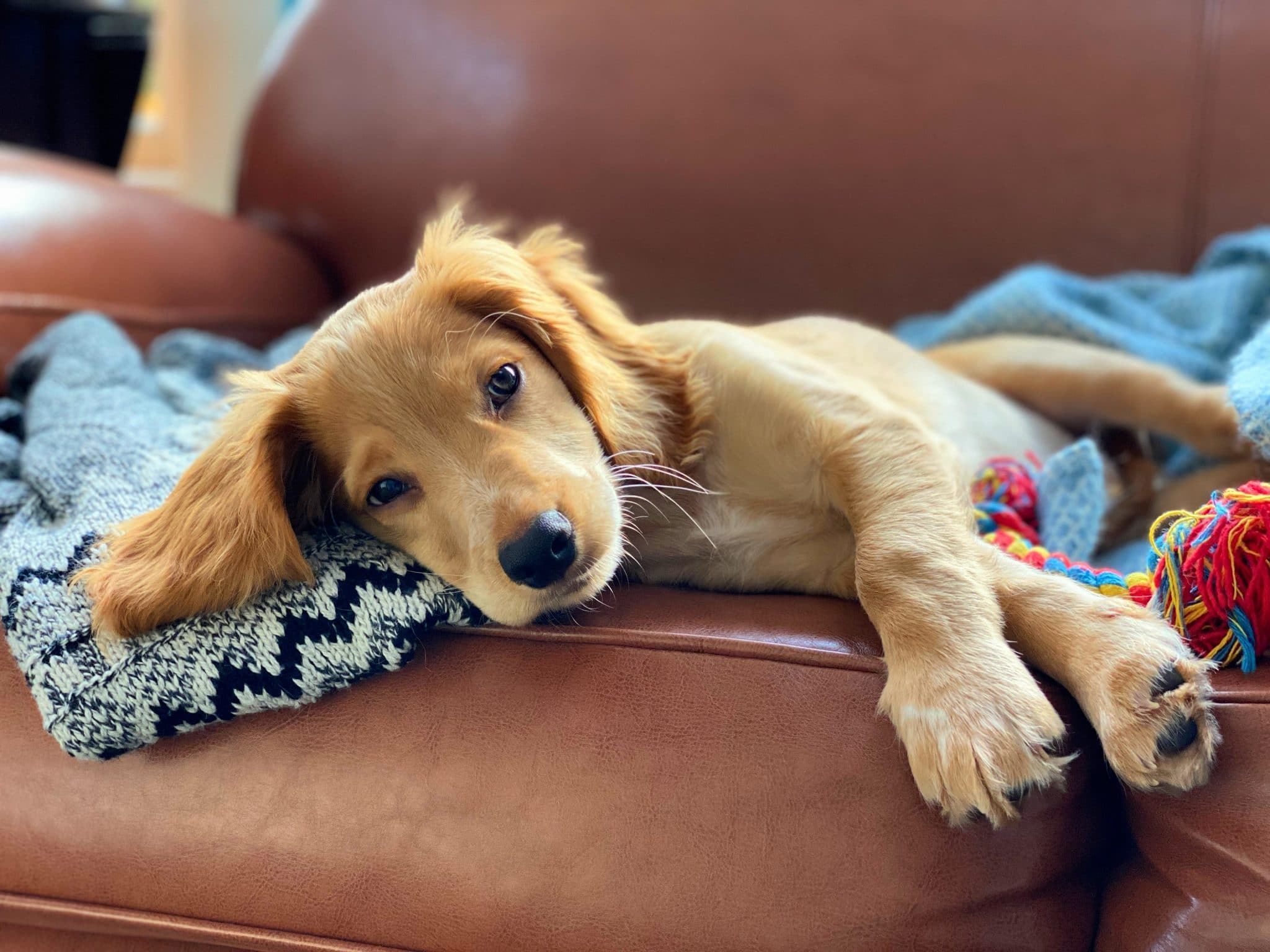 rocket the golden working cocker spaniel puppy relaxing on sofa