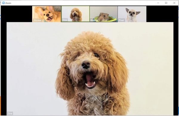 zoom video call with dogs funny