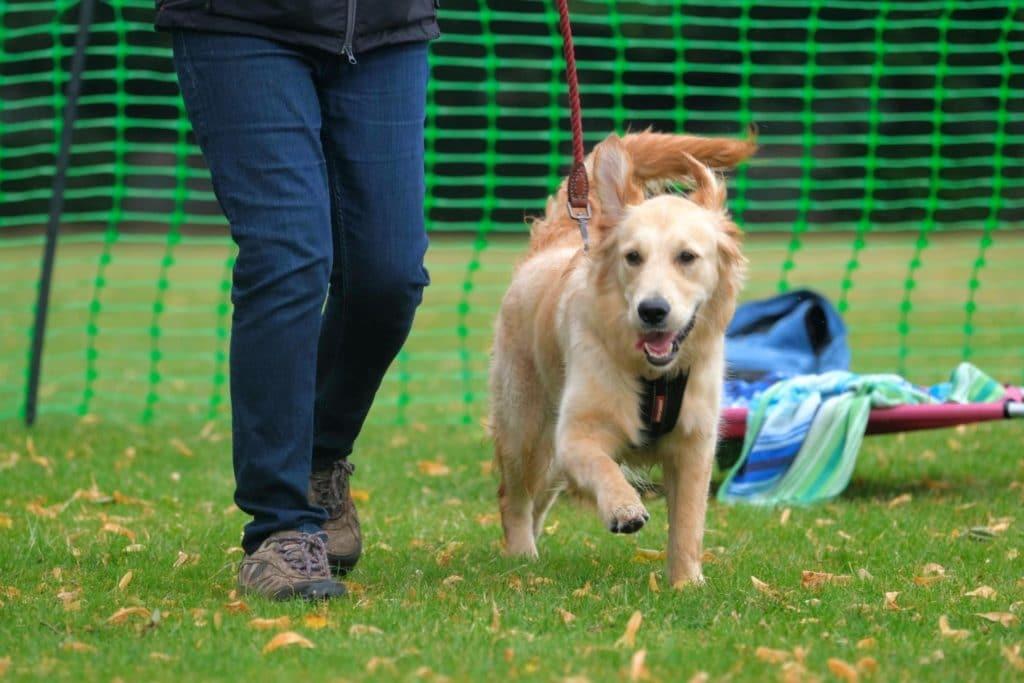 golden retriever puppy loose lead walking in training class