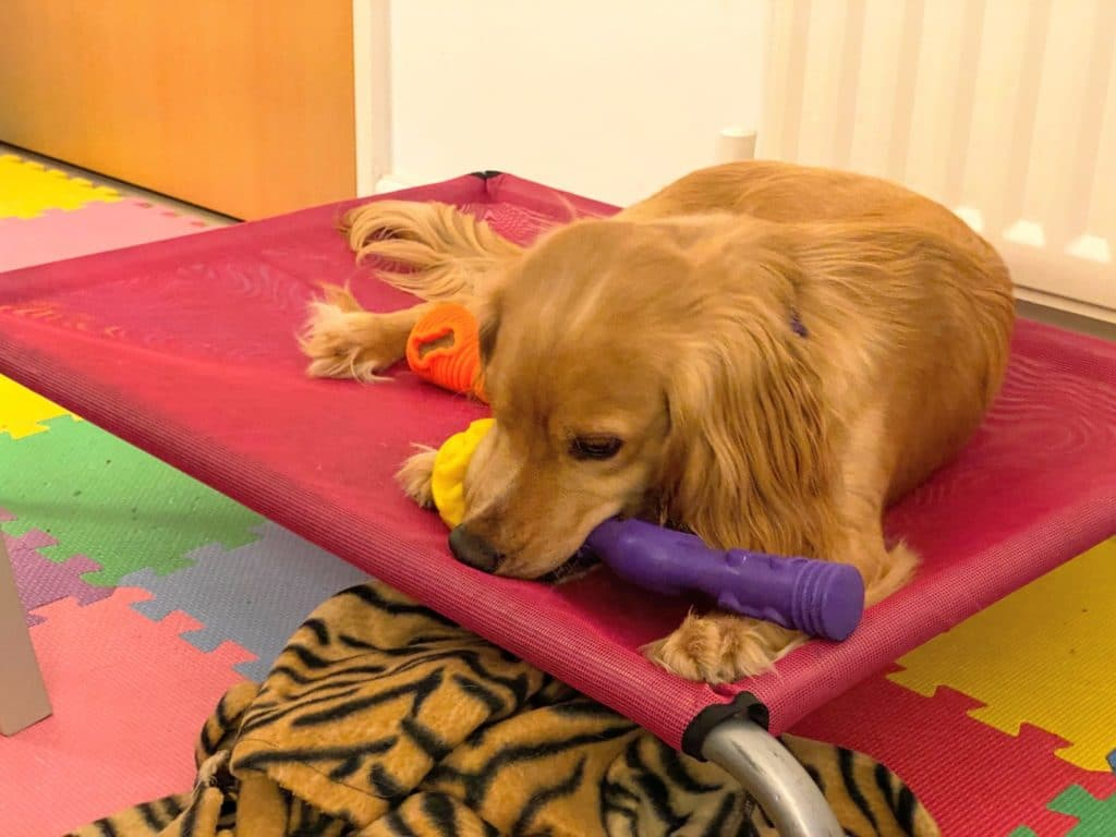 Rocket spaniel enjoying mental enrichment with K9 connectables