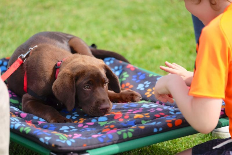 brown labrador puppy playing impluse control game