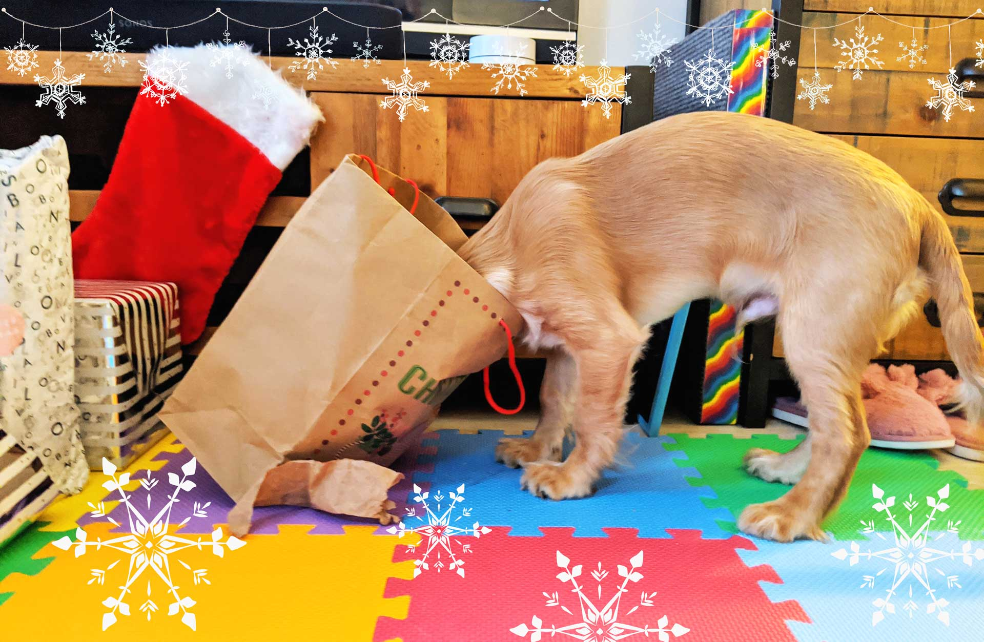 rocket golden working cocker spanial puppy head in christmas bag 3