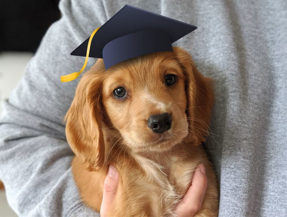 puppy student rocket working cocker spaniel with graduation hat